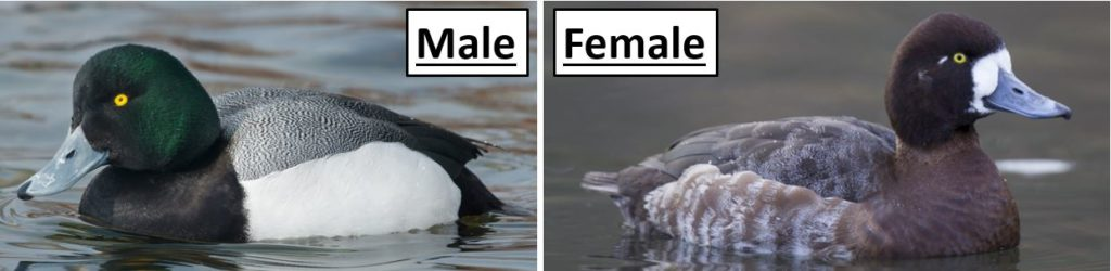 greater scaup ducks