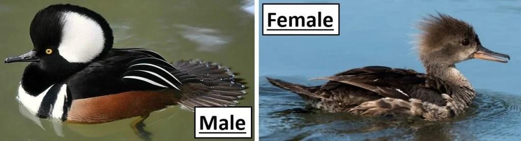 hooded merganser male and female