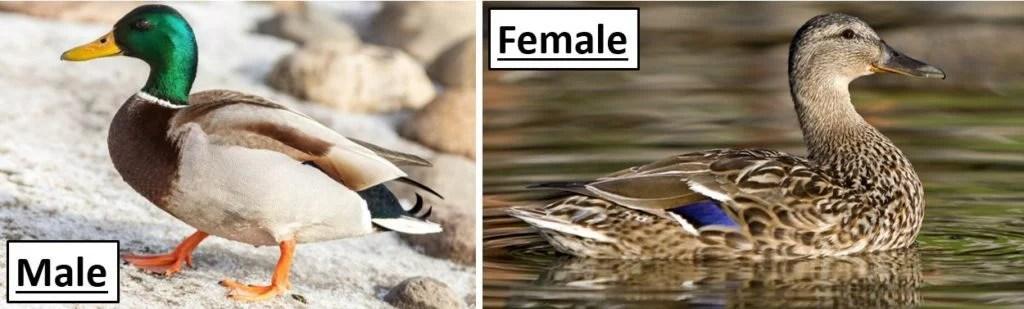 mallard ducks common