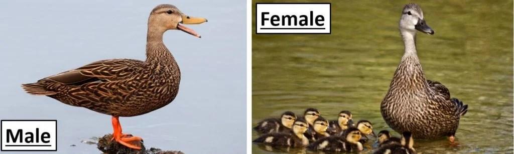 mottled duck species