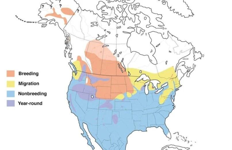 redhead duck range map
