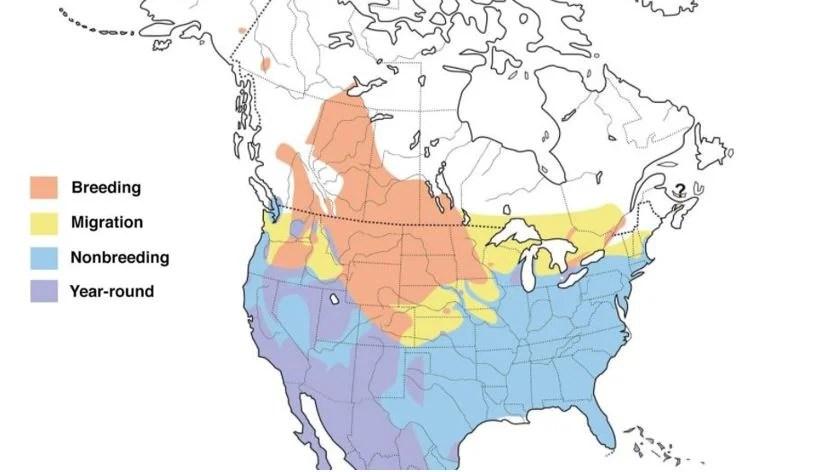 ruddy duck range map