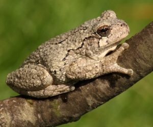 16 Types of Tree Frogs Found in the USA! (ID Guide)