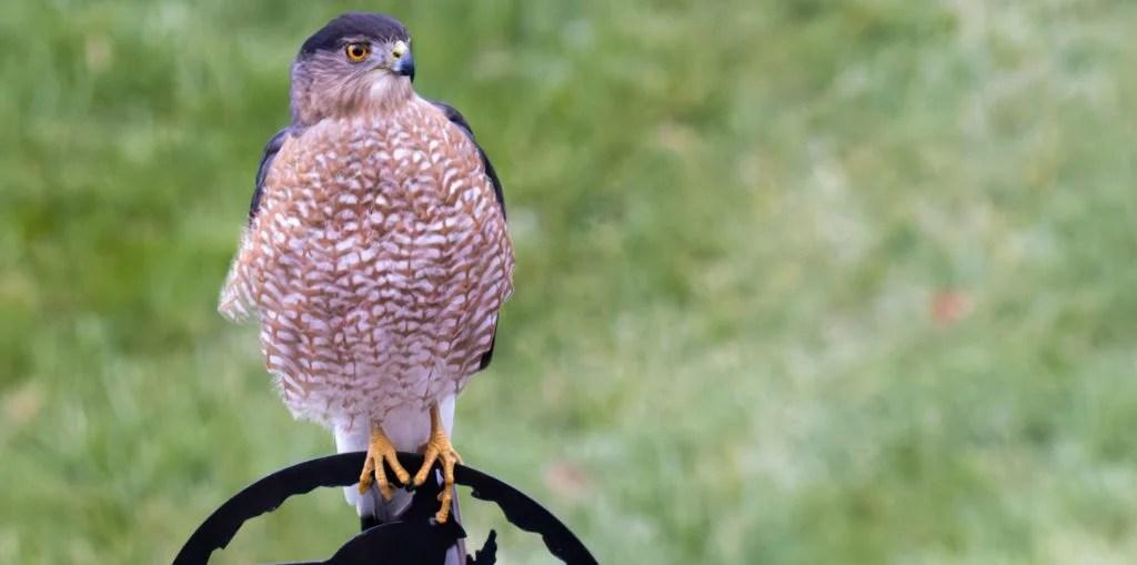 hawk at a bird feeding station pole