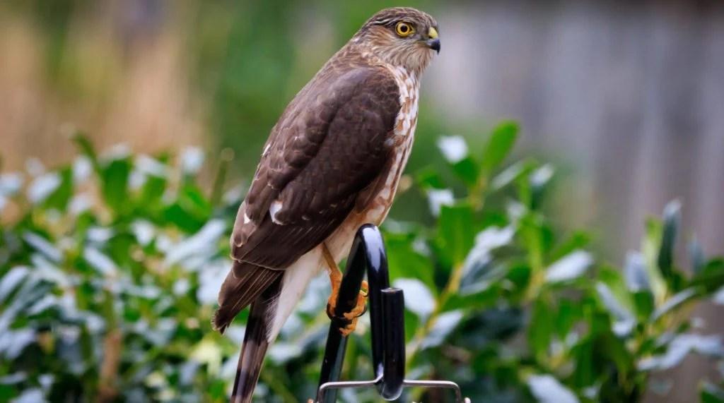 how to keep hawks away and off bird feeders