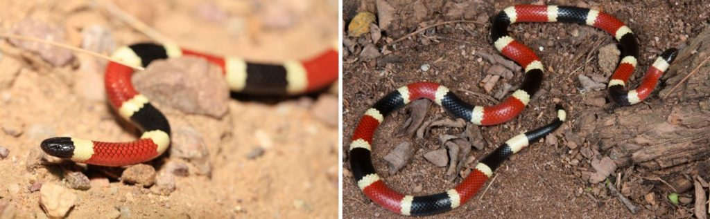 the most common venomous snakes