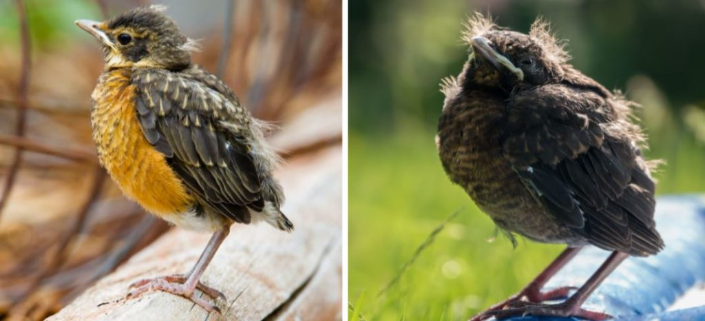 baby birds fledglings