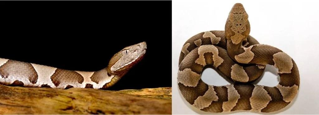 venomous snakes that are common