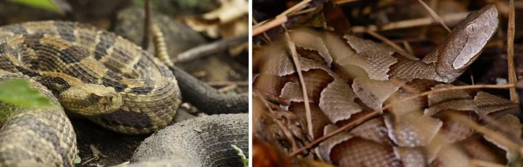 common venomous snakes