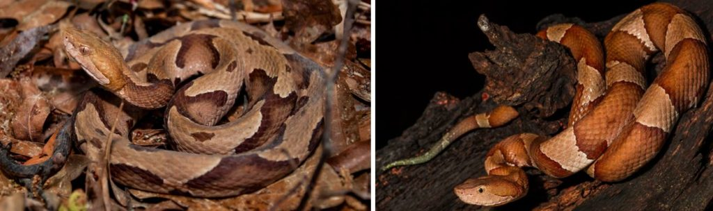 common kinds of venomous snakes