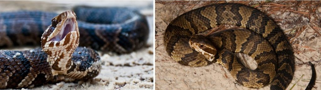 venomous snake species that are common