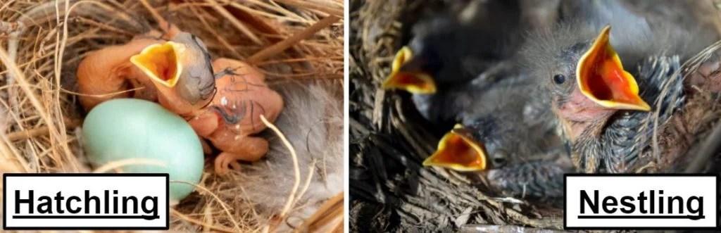 hatchling bird vs nestling bird