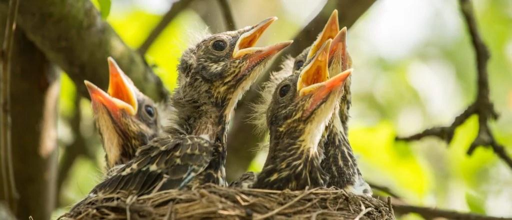 baby birds - nestlings