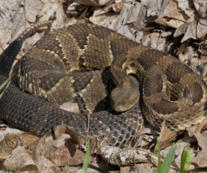 26 Types of Venomous Snakes Found in the USA! (ID Guide)