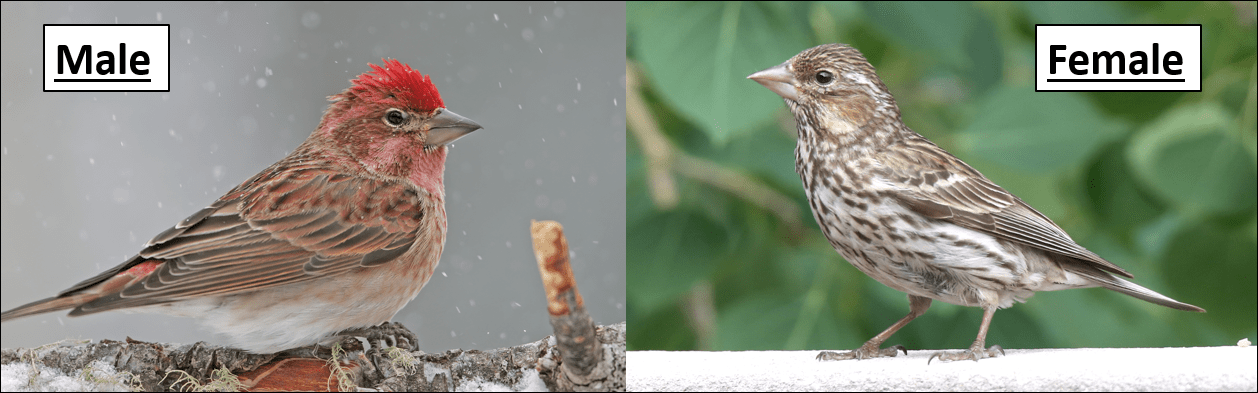 Cassin's Finch male and female