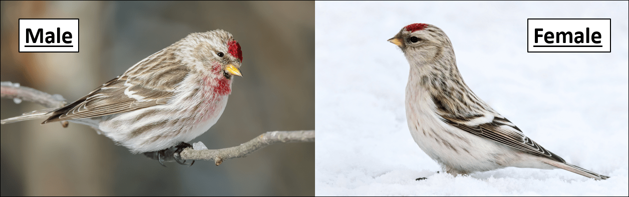 Hoary Redpoll male and female