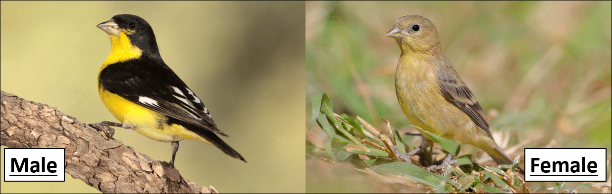 Lesser Goldfinch male and female