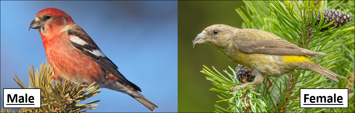 Red crossbill male and female