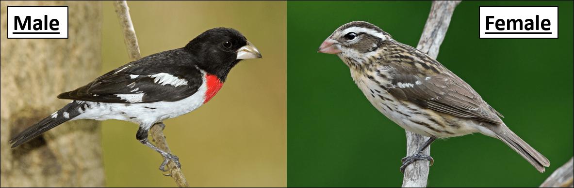 Red-breasted Grosbeak male and female