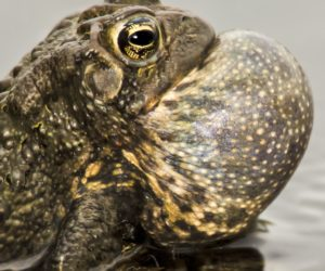 18 Types of Toads Found in the United States! (ID Guide)