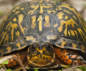 34 Types of Turtles Found in The USA! (ID Guide)