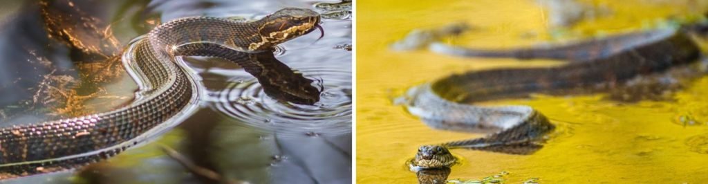 Common Water Snakes in United States