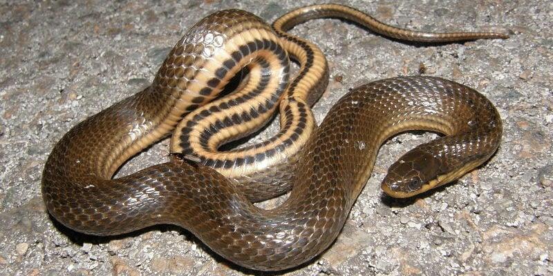 glossy swampsnake or crayfish snake -