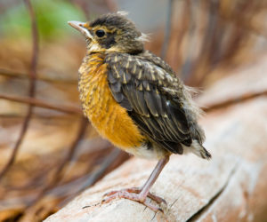 Did you find a baby bird? Here's what to do next!
