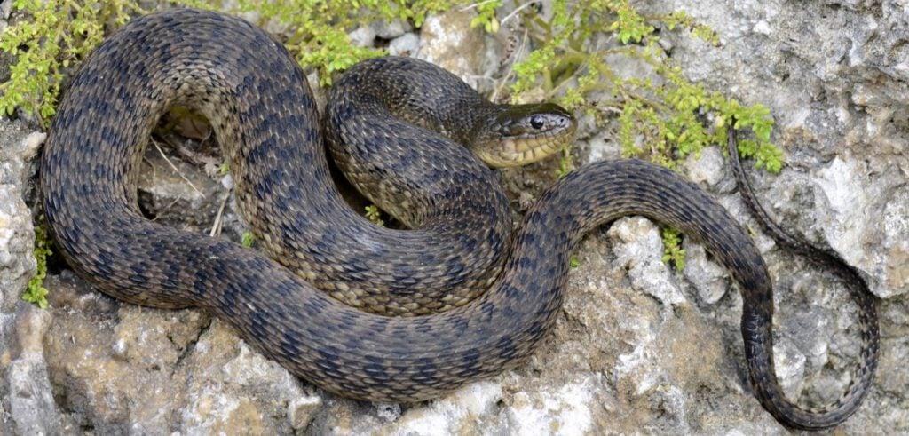 florida greenwater snake range map