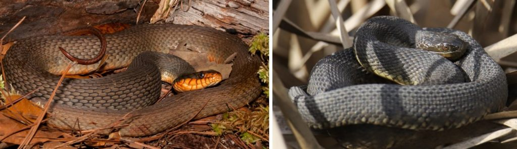Water Snakes species that live in United States