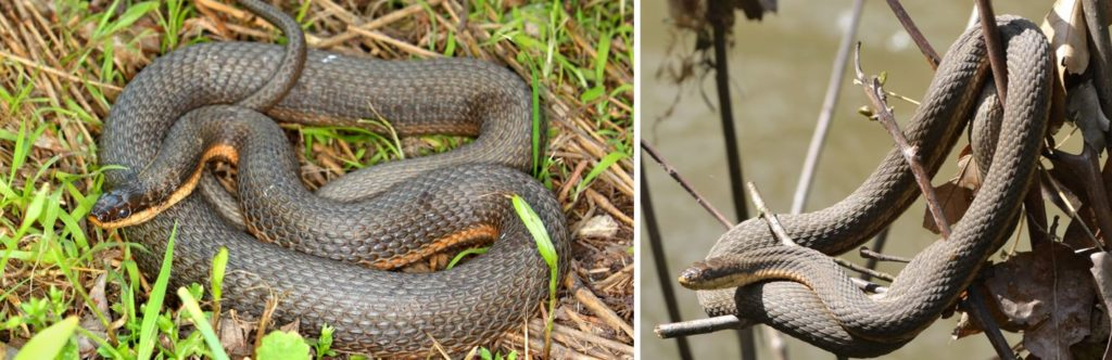 Common Water Snakes species in United States