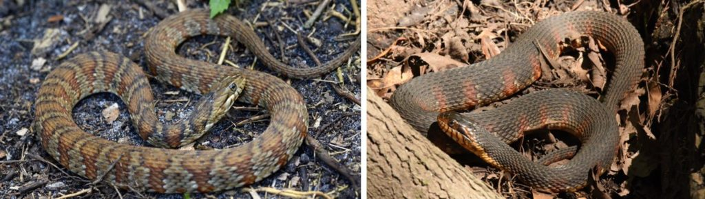 southern watersnake (banded)