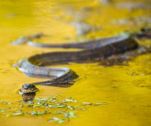 15 Types of Water Snakes in the United States! (ID Guide)
