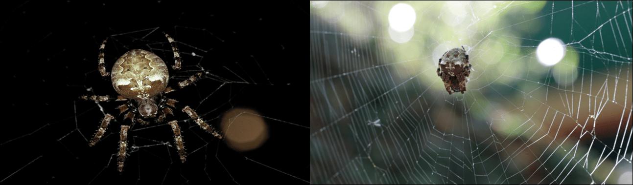 Giant Lichen Orb Weaver Spider