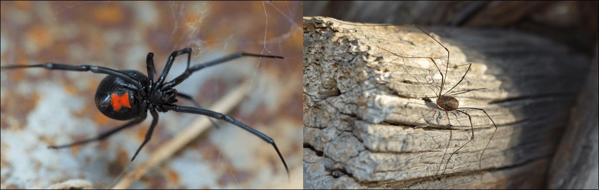 Intro pics common spiders in the United States