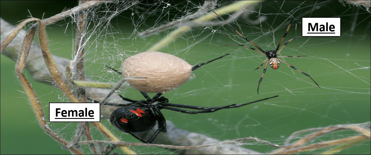 black widow female and male pic