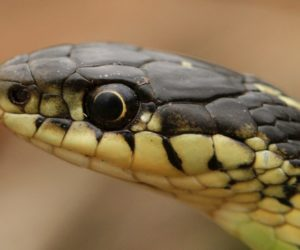 24 Types of Garter Snakes in the United States! (w/ pics)