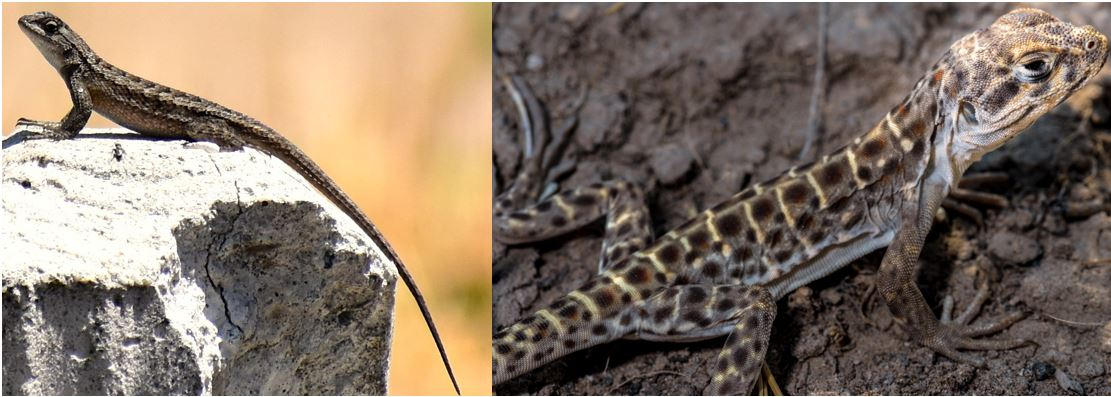 types of spiny lizards in the united states