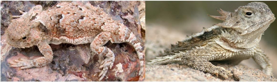 types of horned lizards in the united states