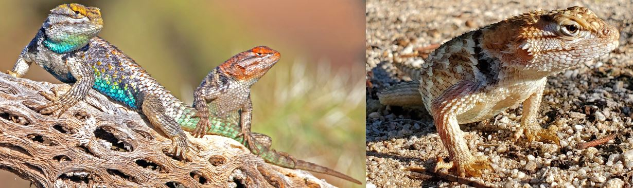 common spiny lizards in the united states