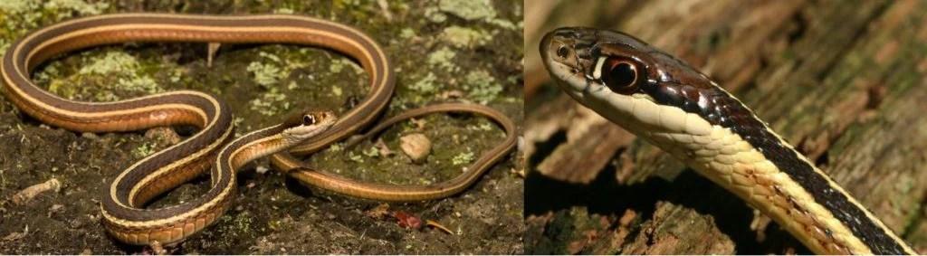 eastern or common ribbon snake