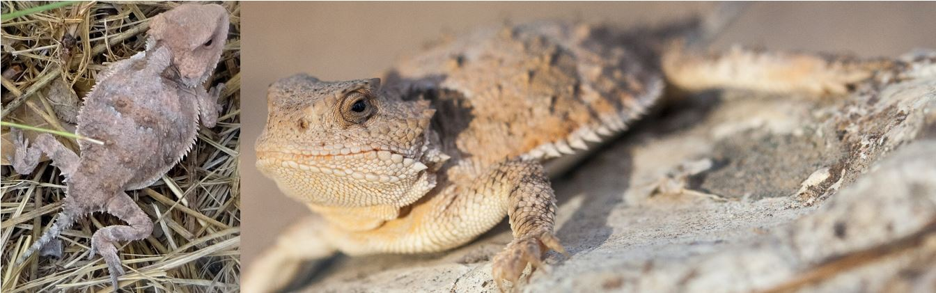 species of horned lizards in the united states