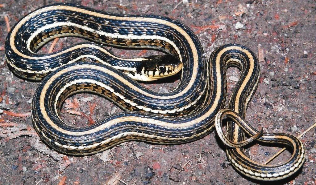 mexican gartersnake