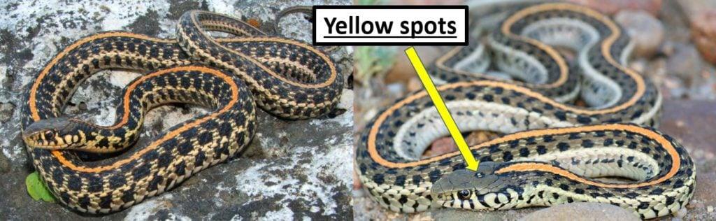 plains garter snake