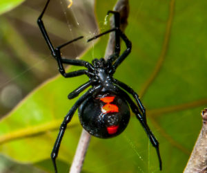 The 6 Poisonous Spiders Found in the USA! (ID Guide)
