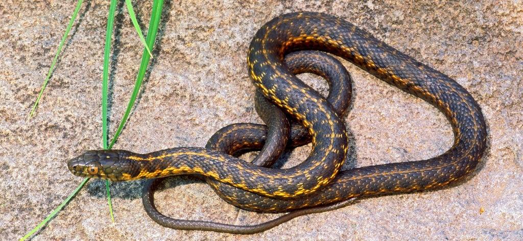 sierra garter snake