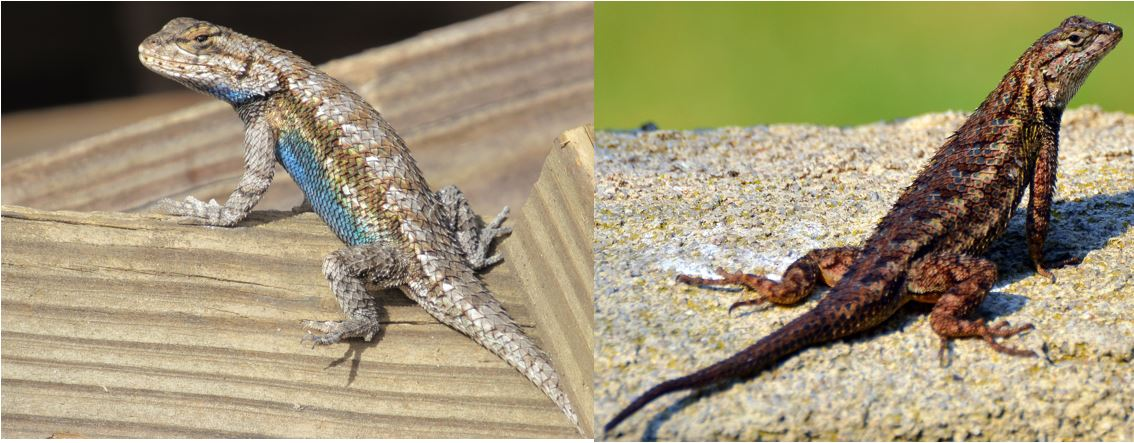 species of spiny lizards in the united states