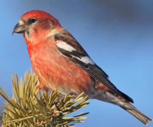 The 3 Types of Crossbills in the United States! (ID Guide)