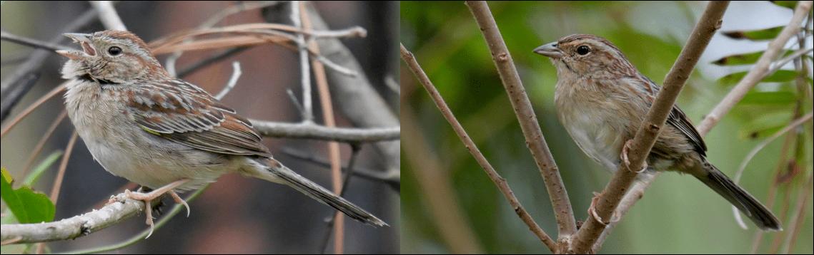 bachman's sparrow pic