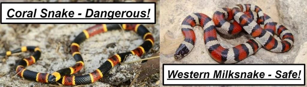 coral snake vs western milksnake
